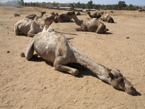 04_sleeping_camel
