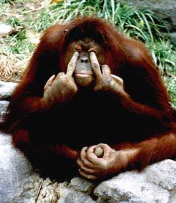 angry-orangutan-961